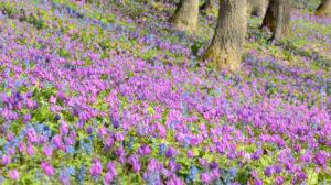 北海道東川町の旭岳に咲く花